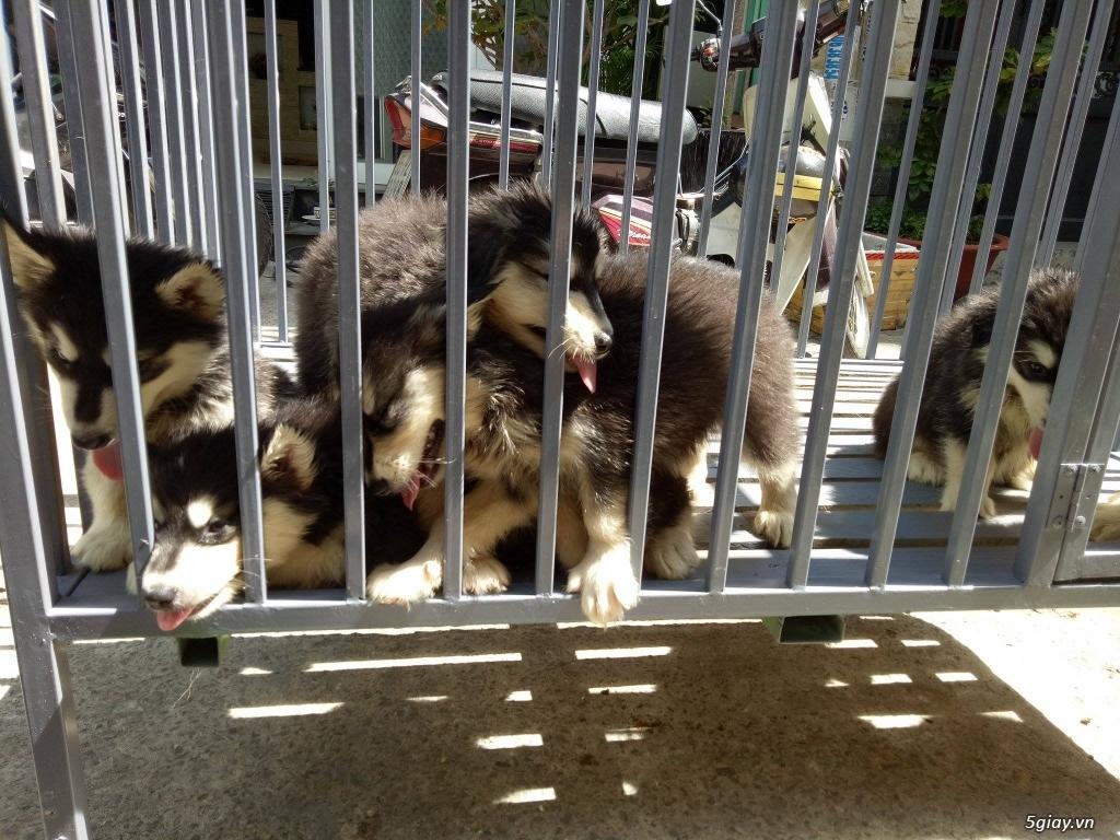 Xuất chuồng bầy chó Alaska con thuần chủng - 4