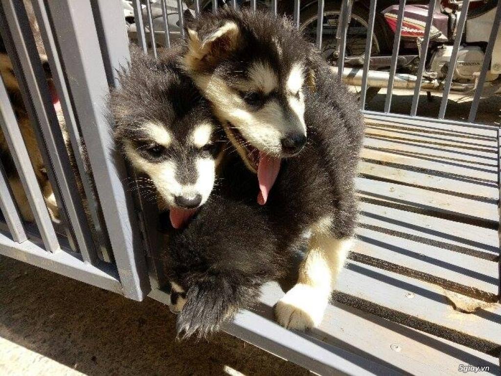 Xuất chuồng bầy chó Alaska con thuần chủng - 1