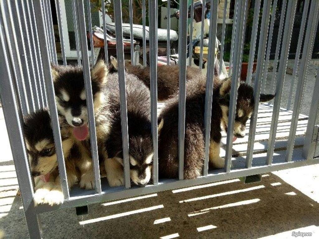 Xuất chuồng bầy chó Alaska con thuần chủng
