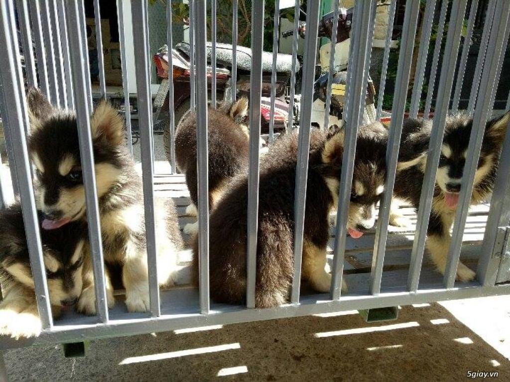 Xuất chuồng bầy chó Alaska con thuần chủng - 2
