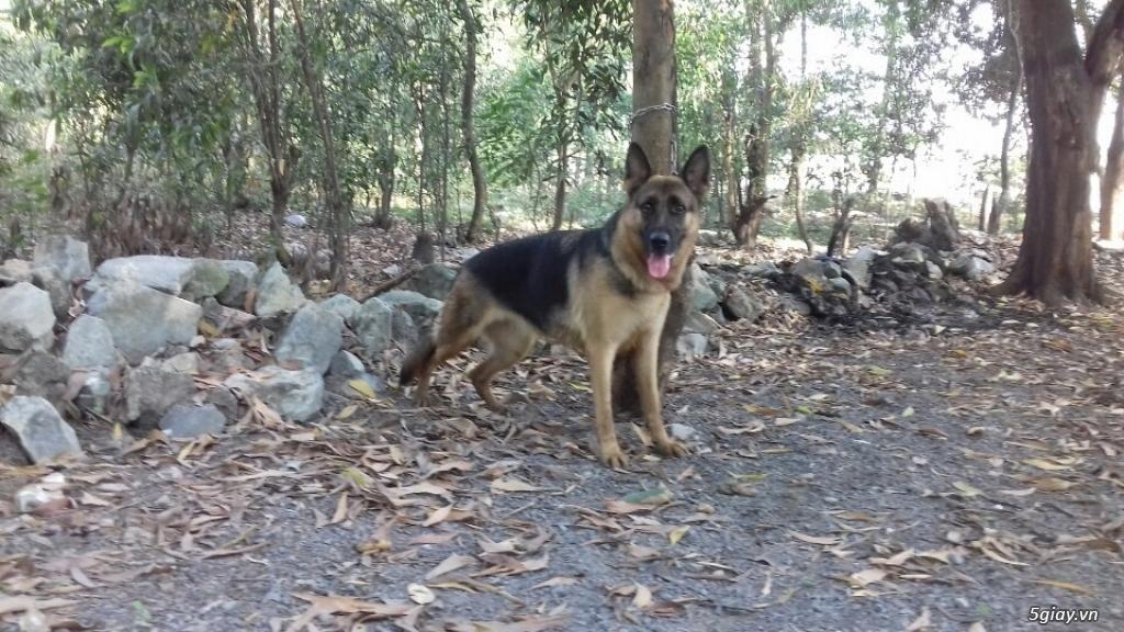 Huấn luyện chó quốc khuyển - 3