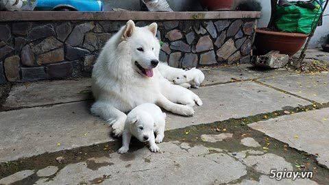 bầy husky nâu đỏ,samoyed nhà mình đẻ rã bầy tìm chủ yêu thương.