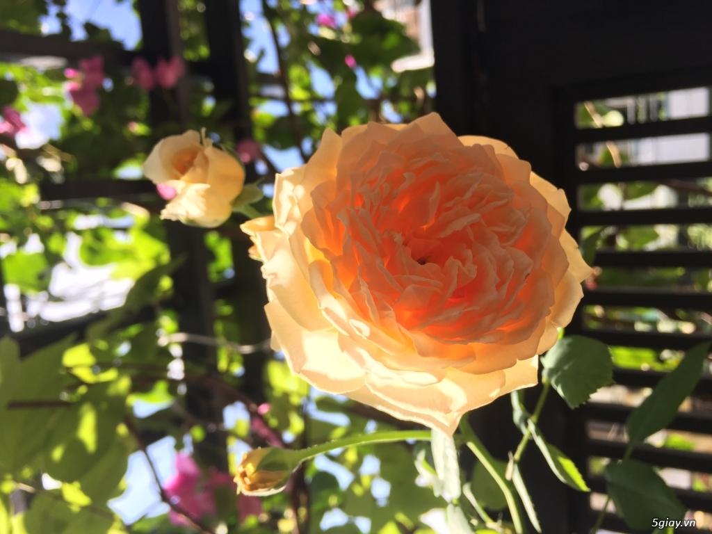 HCM - Thanh lí 1 cây hồng leo Crown Princess Margareta - 1