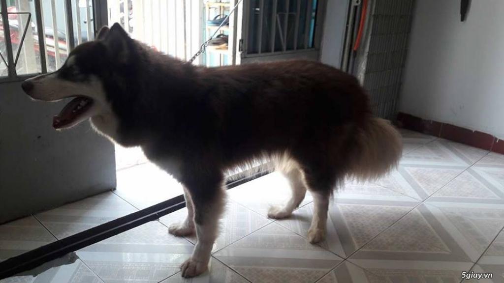 Cần bán chó Alaska đực thuần chủng ( 10 tháng tuổi) - 4