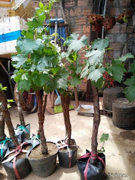 Gốc nho xanh-đỏ-tím Ninh Thuận - Mật ong rừng Bù Gia Mập-BP - 1
