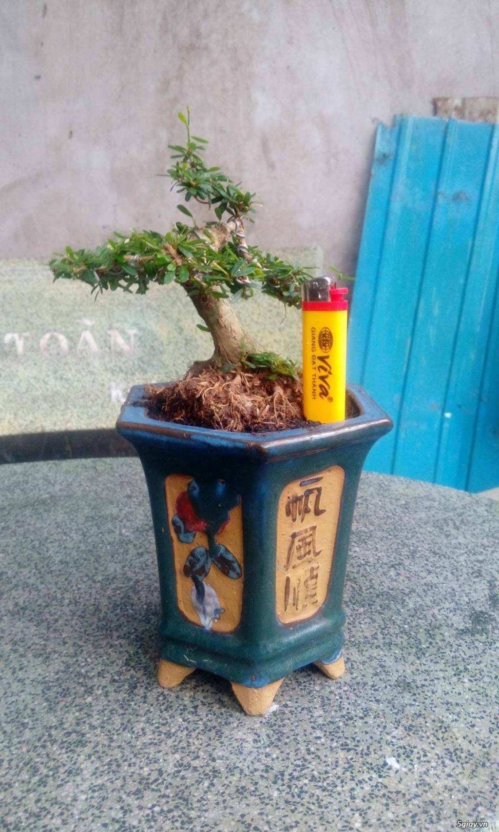 Bonsai mini giá sinh viên.... - 8