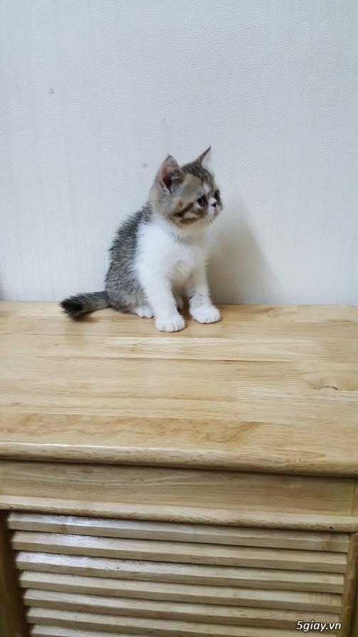 Mèo exotic mặt tịt, bố mẹ nhà nuôi - 5