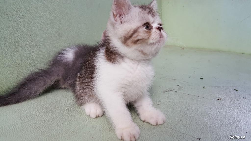 Mèo exotic mặt tịt, bố mẹ nhà nuôi - 3