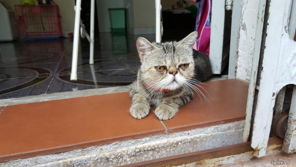 Mèo exotic mặt tịt, bố mẹ nhà nuôi - 9