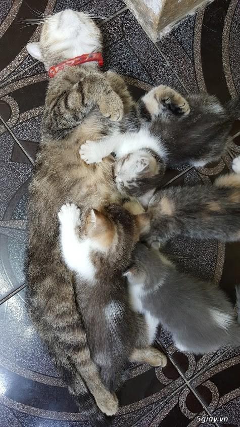 Mèo exotic mặt tịt, bố mẹ nhà nuôi - 7