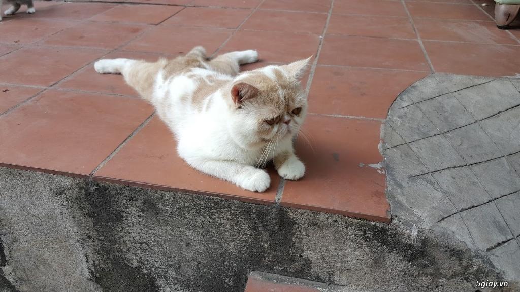 Mèo exotic mặt tịt, bố mẹ nhà nuôi - 10