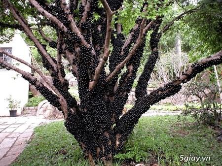 cây dâu tằm trái dài giống Đài Loan,nho thân gỗ , - 1