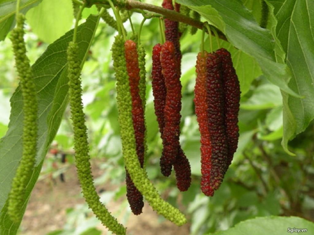 cây dâu tằm trái dài giống Đài Loan,nho thân gỗ , - 4