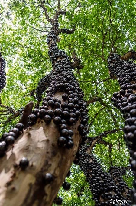 cây dâu tằm trái dài giống Đài Loan,nho thân gỗ , - 2