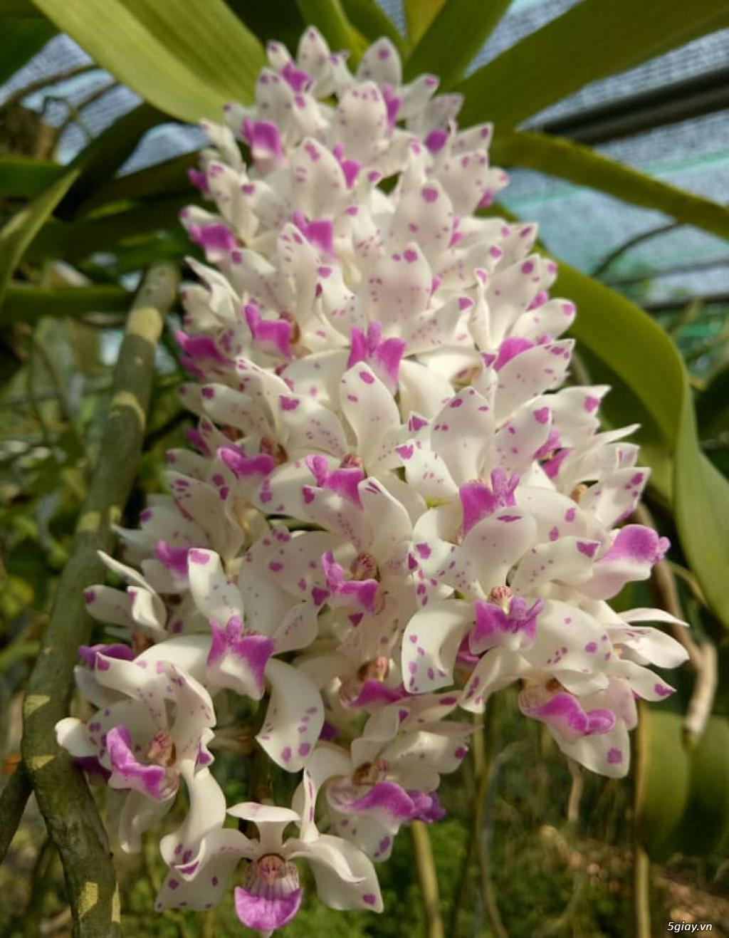 Hoa lan Ngọc Điểm - Nghinh Xuân - Đai Châu rừng trồng thuần tại vườn - 16
