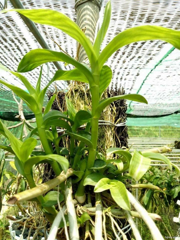 Thuốc Keiki sử dụng kích mầm chồi non và kích ra hoa cho các loại hoa - 9
