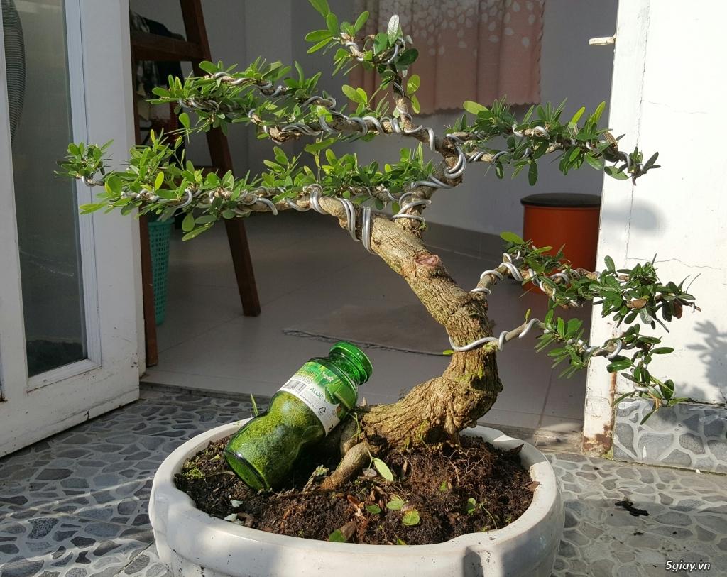 Giao lưu vài cây linh sam và sung bon sai