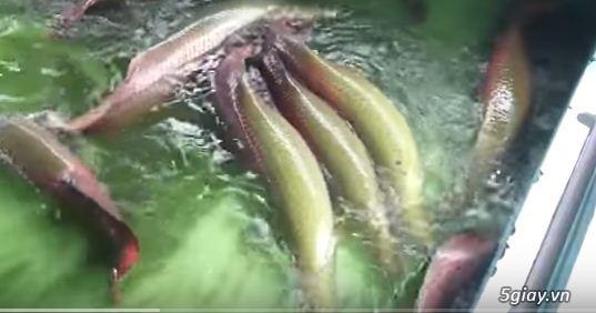 Trại cá chuyên cung cấp ba ba, hải tượng, rô phi, cá chép giống... - 4