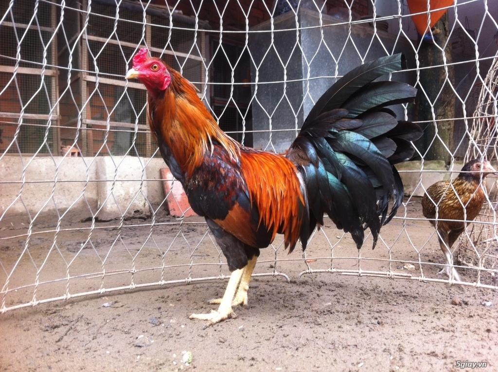 Vĩnh long gà nòi gà tre có clip xổ - 12