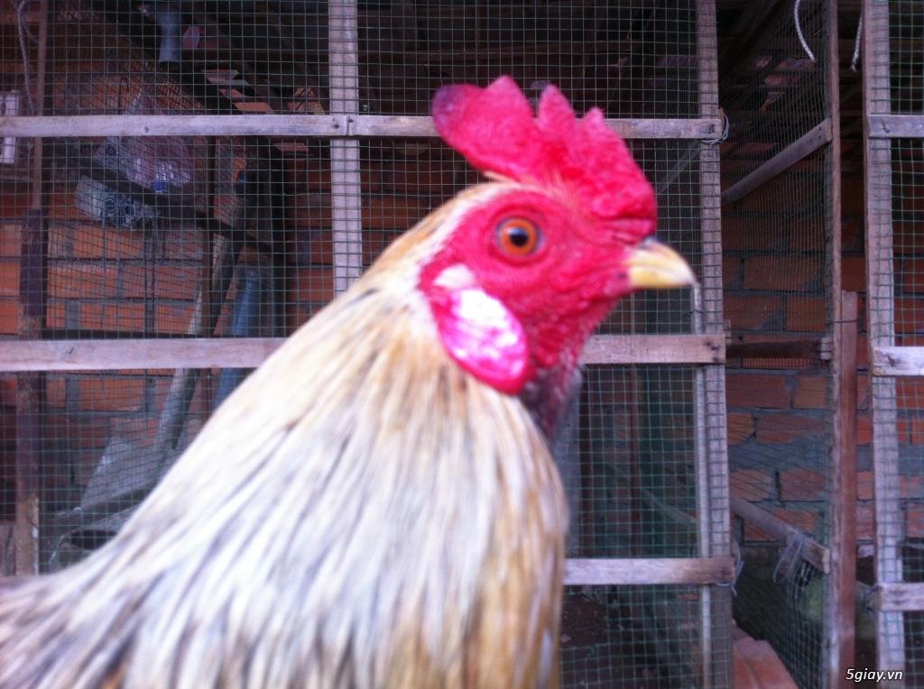 Vĩnh long gà nòi gà tre có clip xổ - 18
