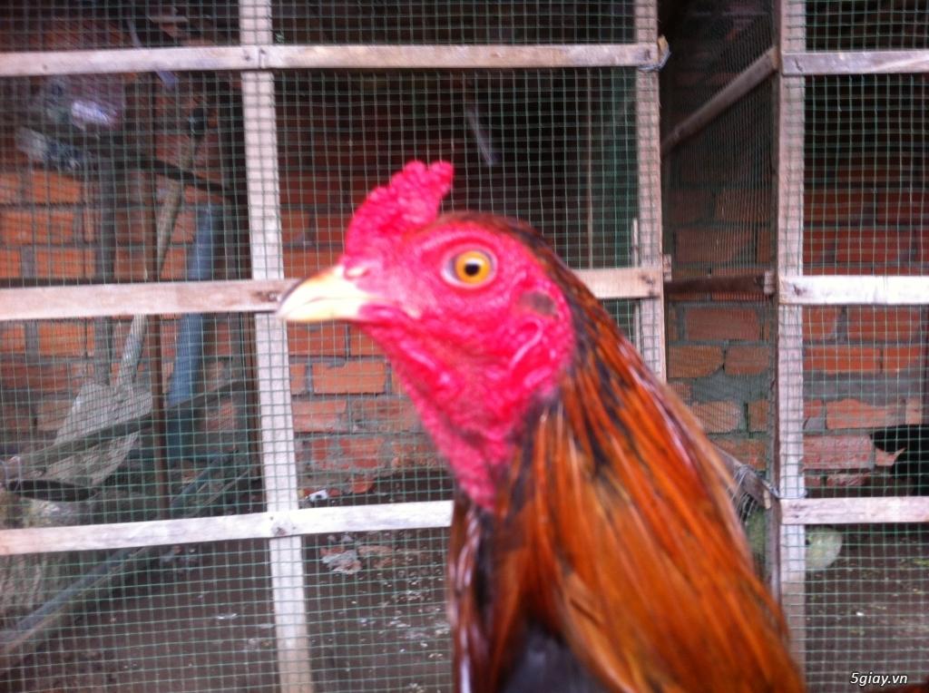 Vĩnh long gà nòi gà tre có clip xổ - 15