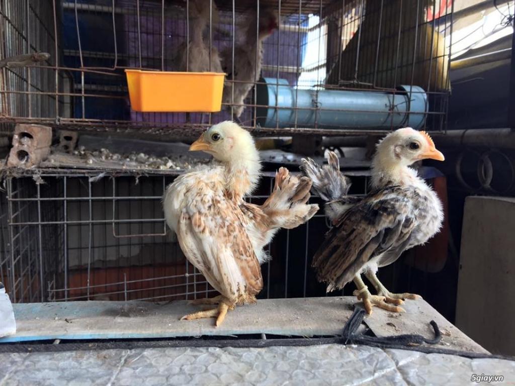 Trại gà kiểng gồm các giống gà ngoại nhập: Serama,Rosecomo,Ba Lan Sư Tử,Phoenix,Sikie,Vảy cá,gà Thái - 10
