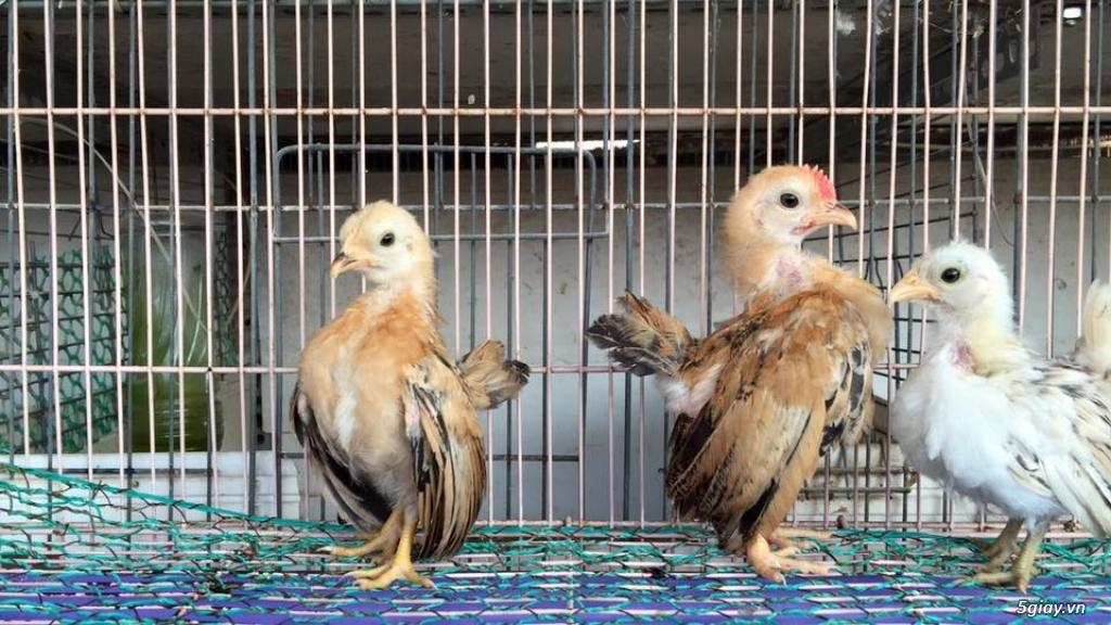 Trại gà kiểng gồm các giống gà ngoại nhập: Serama,Rosecomo,Ba Lan Sư Tử,Phoenix,Sikie,Vảy cá,gà Thái - 6