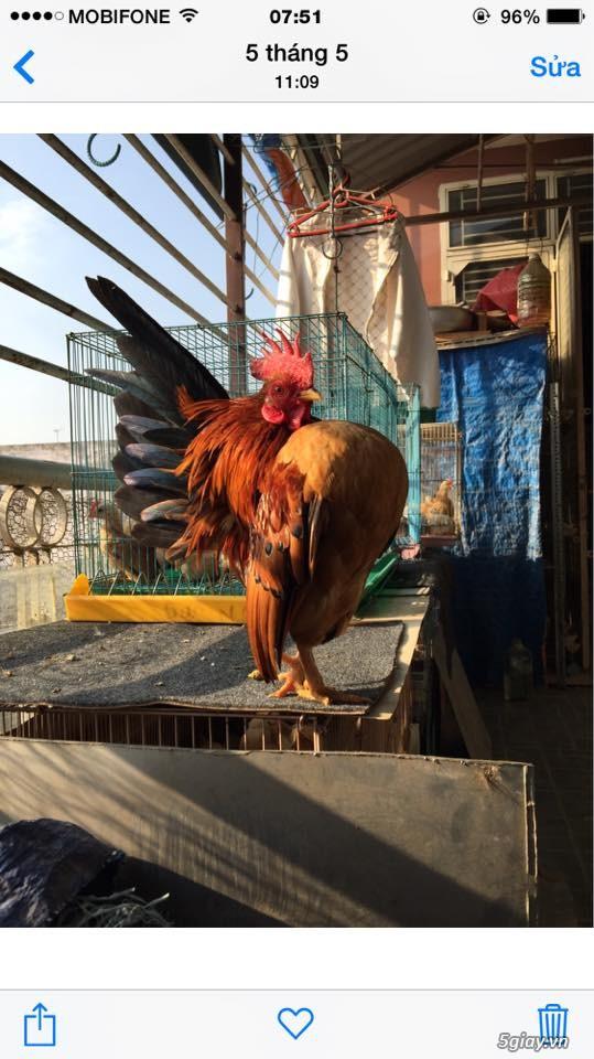 Trại gà kiểng gồm các giống gà ngoại nhập: Serama,Rosecomo,Ba Lan Sư Tử,Phoenix,Sikie,Vảy cá,gà Thái - 12