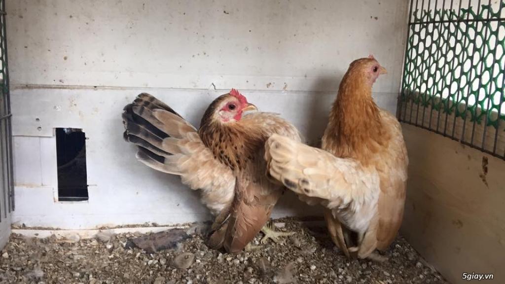 Trại gà kiểng gồm các giống gà ngoại nhập: Serama,Rosecomo,Ba Lan Sư Tử,Phoenix,Sikie,Vảy cá,gà Thái - 15