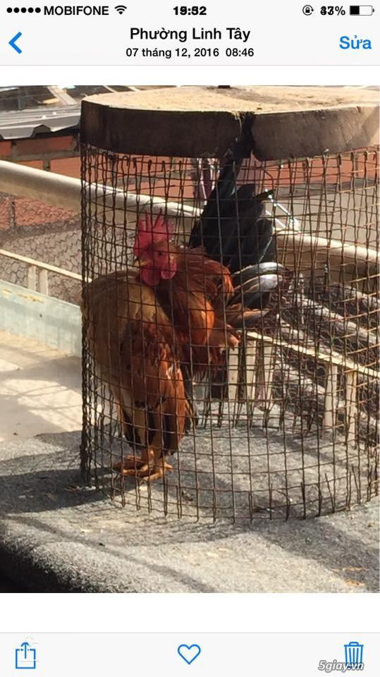 Trại gà kiểng gồm các giống gà ngoại nhập: Serama,Rosecomo,Ba Lan Sư Tử,Phoenix,Sikie,Vảy cá,gà Thái - 36