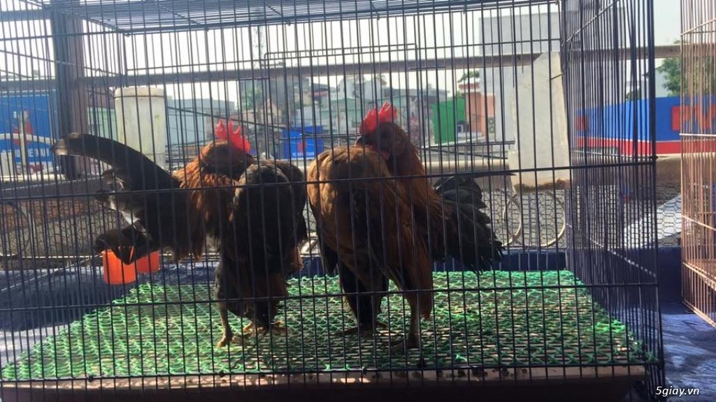 Trại gà kiểng gồm các giống gà ngoại nhập: Serama,Rosecomo,Ba Lan Sư Tử,Phoenix,Sikie,Vảy cá,gà Thái - 28
