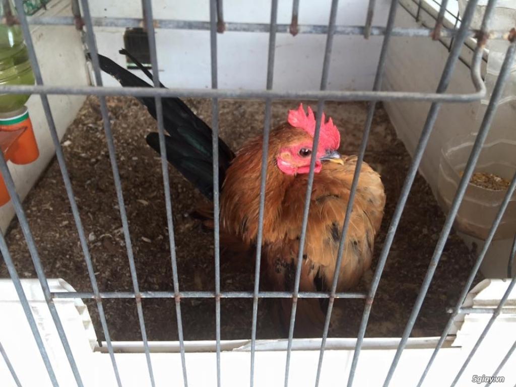 Trại gà kiểng gồm các giống gà ngoại nhập: Serama,Rosecomo,Ba Lan Sư Tử,Phoenix,Sikie,Vảy cá,gà Thái - 34