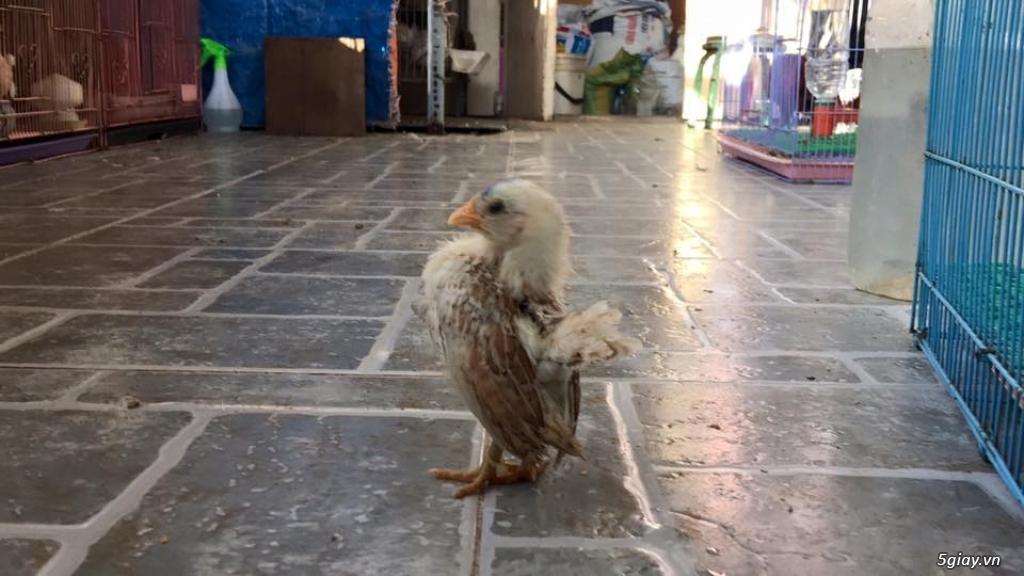 Trại gà kiểng gồm các giống gà ngoại nhập: Serama,Rosecomo,Ba Lan Sư Tử,Phoenix,Sikie,Vảy cá,gà Thái - 8