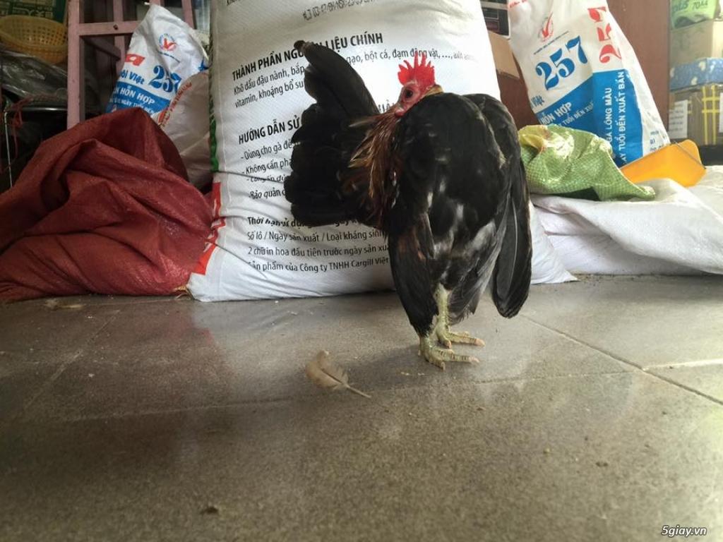 Trại gà kiểng gồm các giống gà ngoại nhập: Serama,Rosecomo,Ba Lan Sư Tử,Phoenix,Sikie,Vảy cá,gà Thái - 11