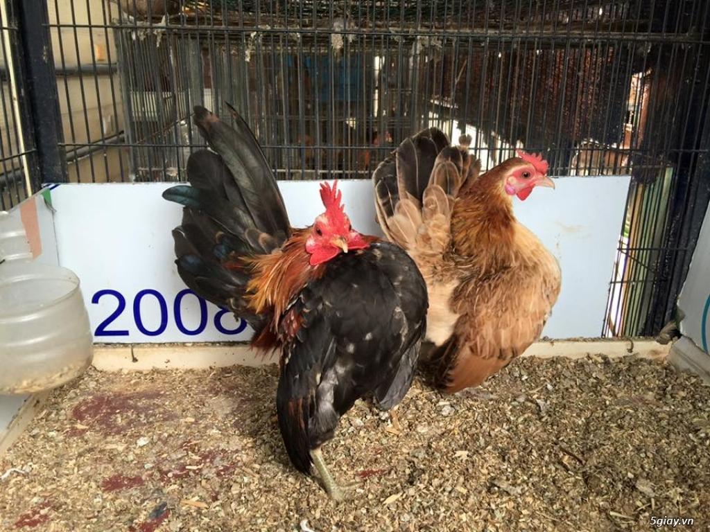 Trại gà kiểng gồm các giống gà ngoại nhập: Serama,Rosecomo,Ba Lan Sư Tử,Phoenix,Sikie,Vảy cá,gà Thái - 17