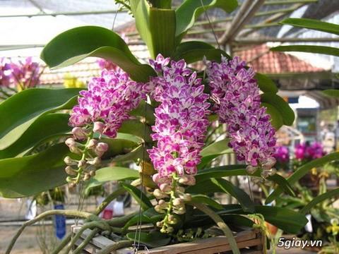 Phong lan đai châu nhập từ Thái Lan - Nở hoa Tết 2018 - 1
