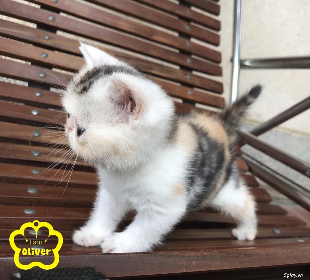 Bán mèo exotic mặt tịt bố mẹ nhà nuôi - 16