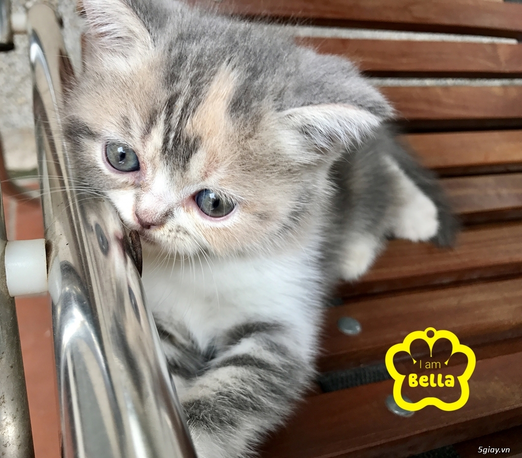 Bán mèo exotic mặt tịt bố mẹ nhà nuôi - 30