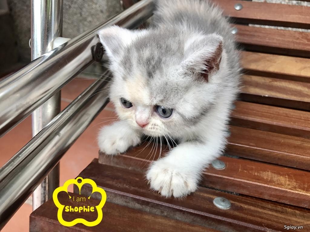 Bán mèo exotic mặt tịt bố mẹ nhà nuôi - 10