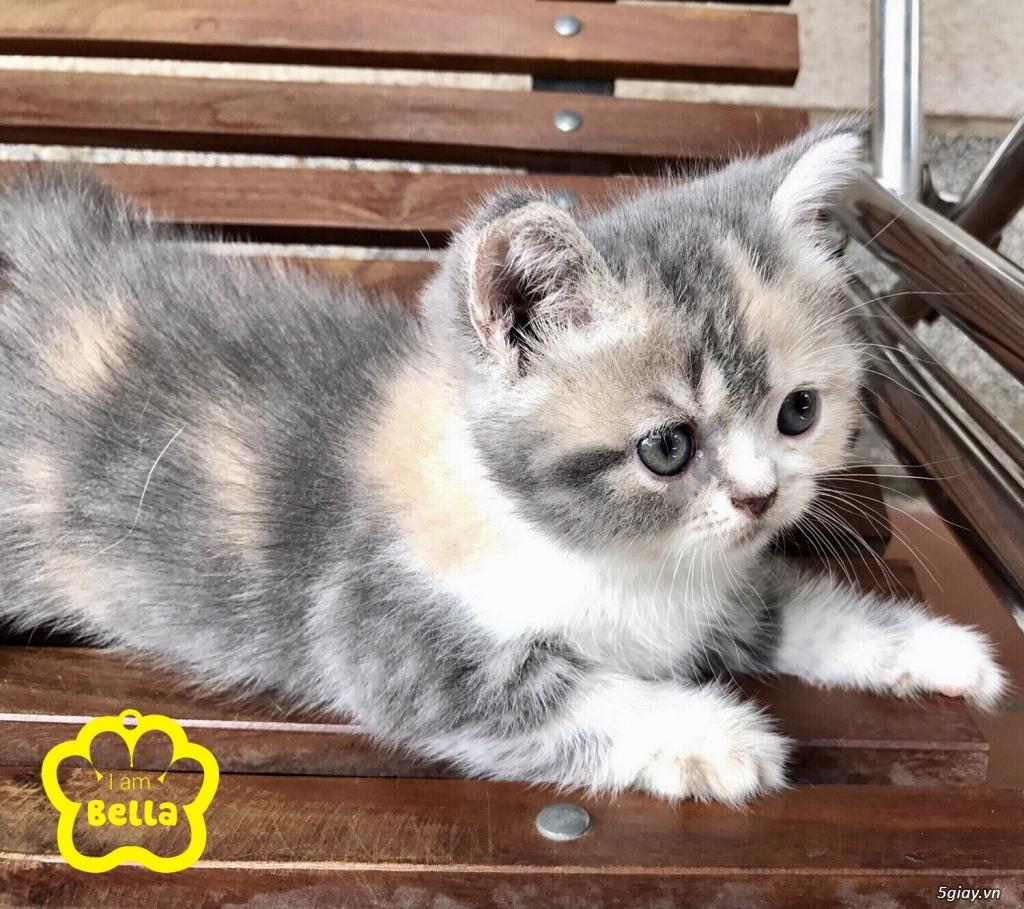 Bán mèo exotic mặt tịt bố mẹ nhà nuôi - 36
