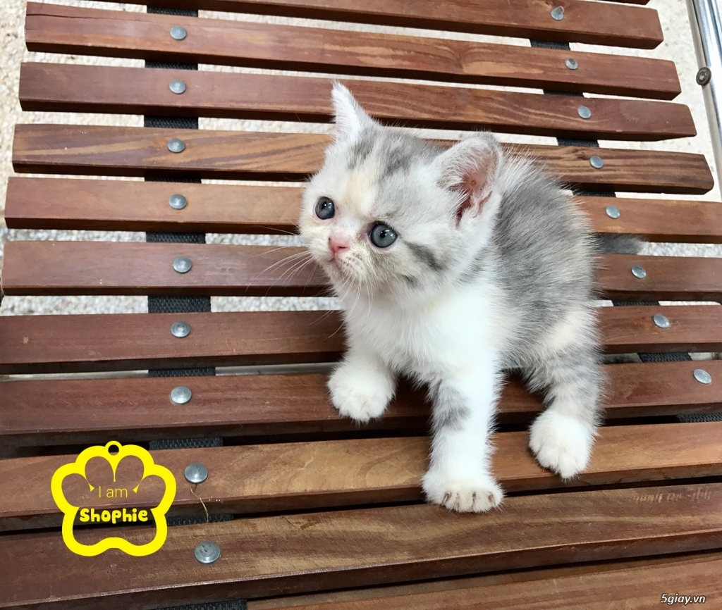 Bán mèo exotic mặt tịt bố mẹ nhà nuôi - 12