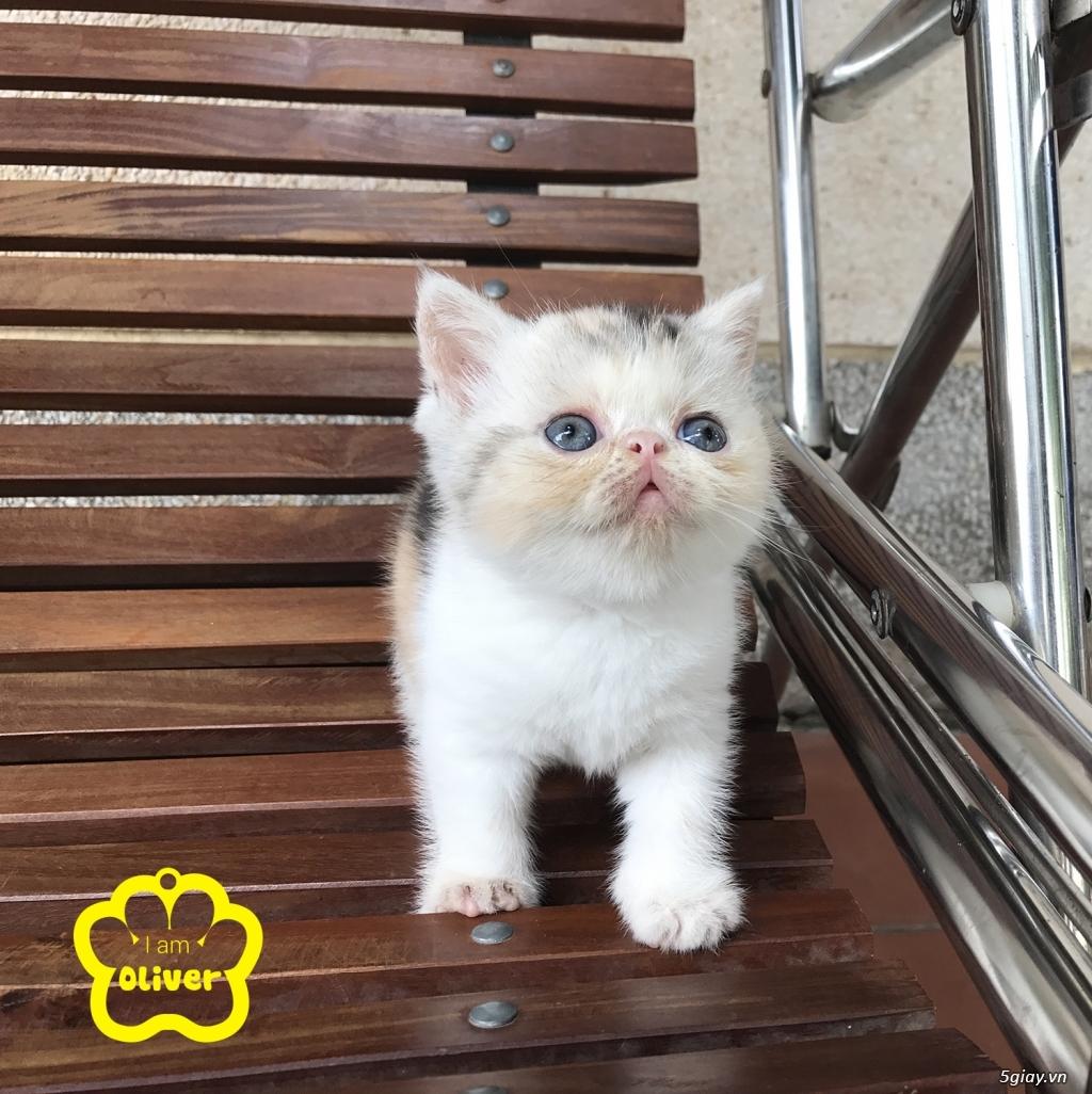 Bán mèo exotic mặt tịt bố mẹ nhà nuôi - 14