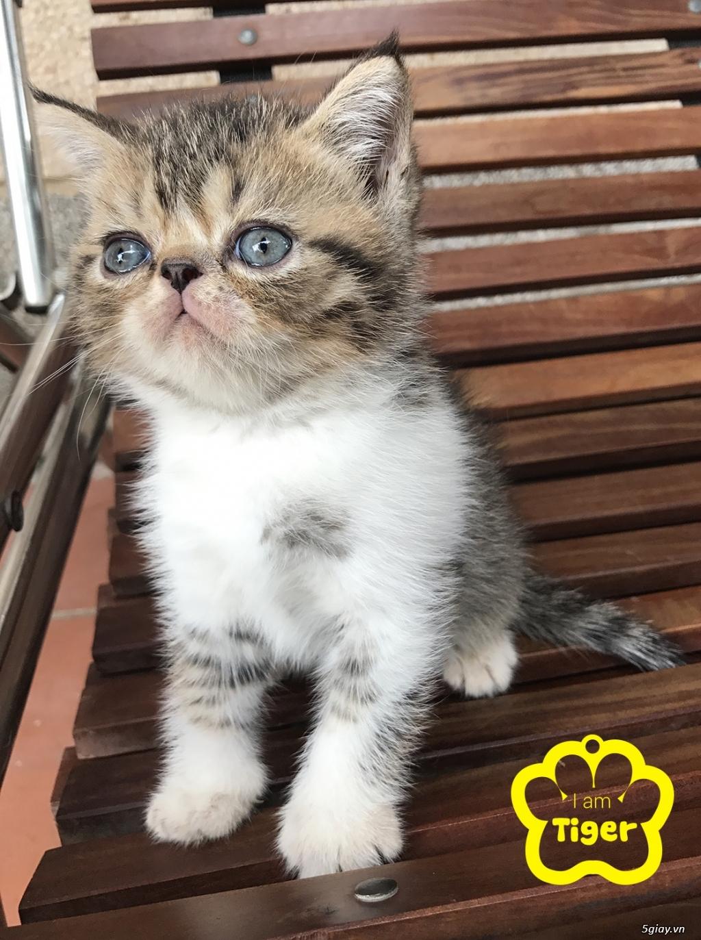 Bán mèo exotic mặt tịt bố mẹ nhà nuôi - 8