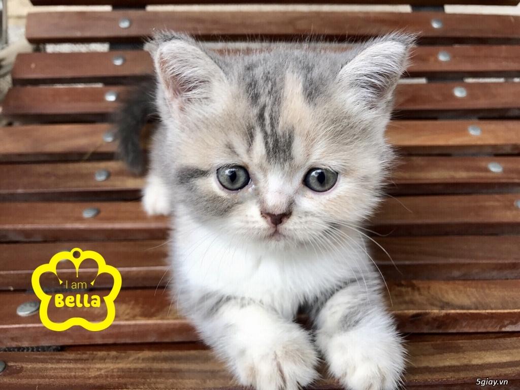 Bán mèo exotic mặt tịt bố mẹ nhà nuôi - 32