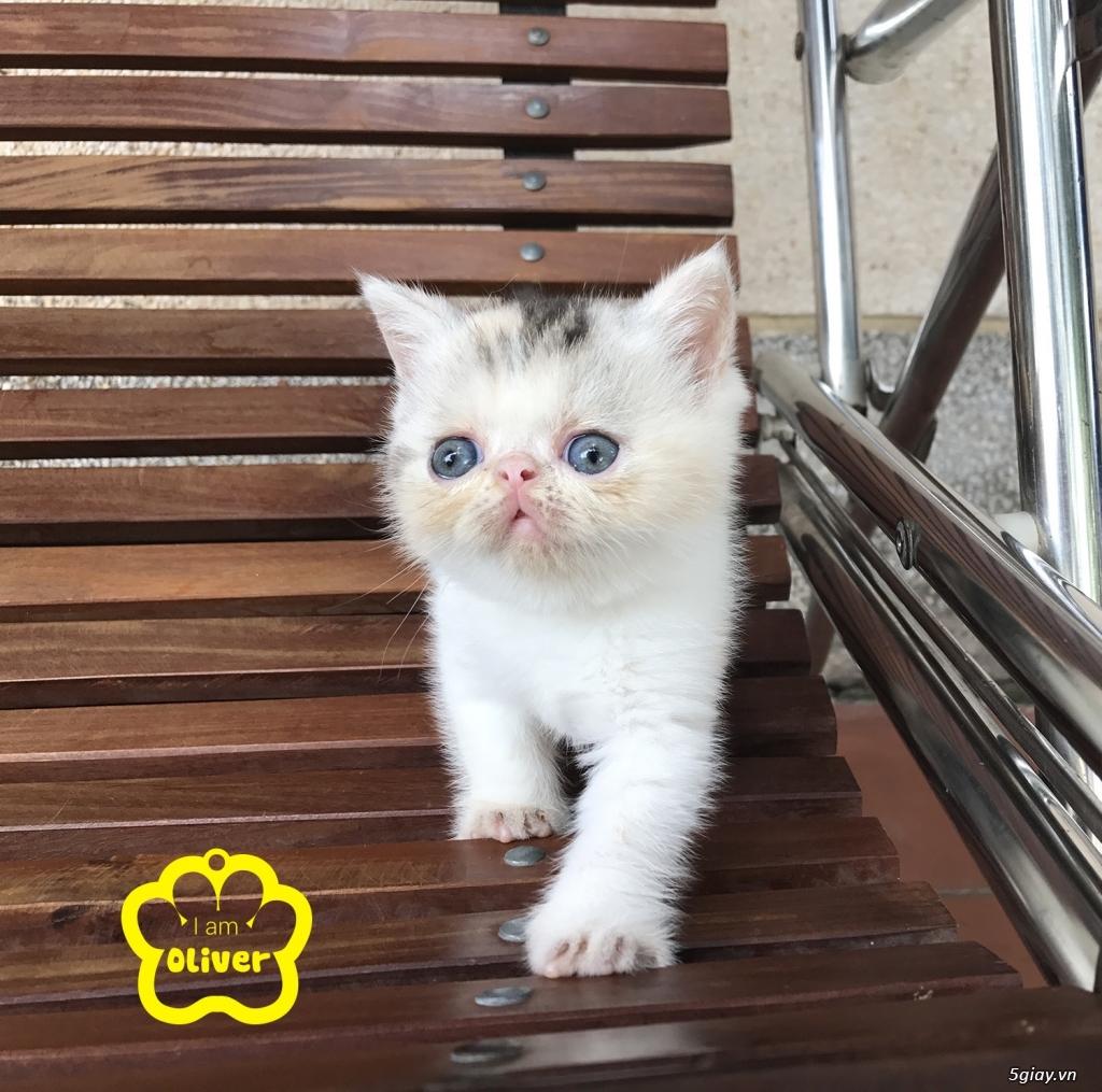 Bán mèo exotic mặt tịt bố mẹ nhà nuôi - 18