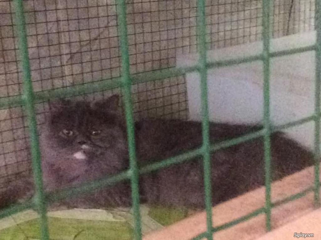 Cần Bán:Tìm chủ cho bé mèo 34 cái xám được 16 tháng tuổi