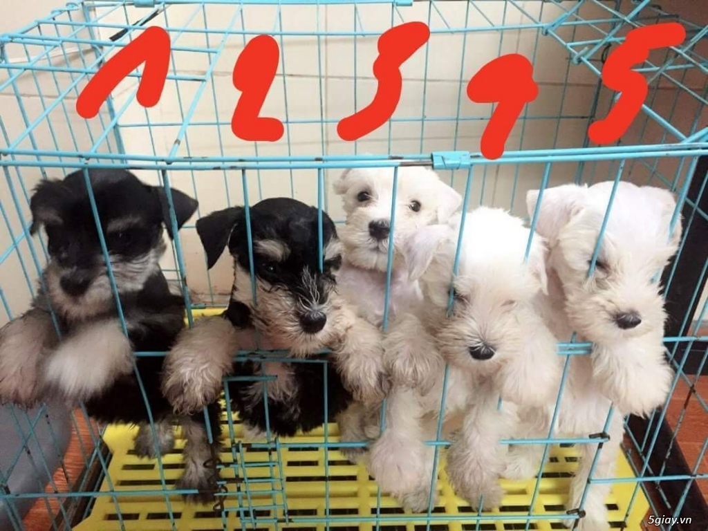 Cần bán : bầy Miniature Schauner hơn 2 tháng tuổi cực xinh 01666933338