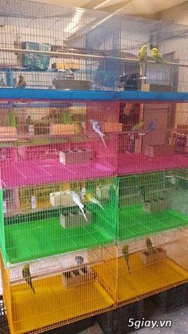 Bán chim yến phung và tổ cho yến phụng sinh sản..