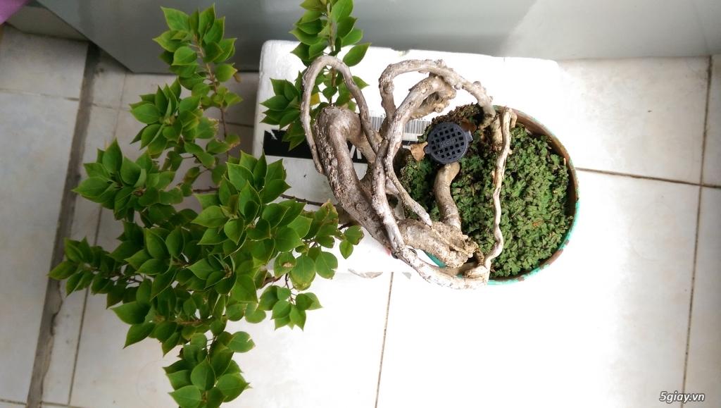 Giao lưu vài em bonsai mini giá mềm!!! - 6