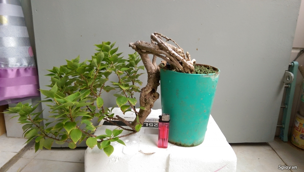 Giao lưu vài em bonsai mini giá mềm!!! - 5